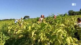 Kinderarbeit beim Tabakanbau: Leiden für Zigarettenraucher