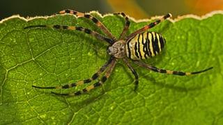 Tarnen, tauchen, tapezieren: Spinnen in der Schweiz