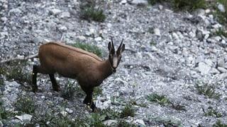 Betg be A, er B – 2 mazlers controllan tut ils animals (Artitgel cuntegn audio)