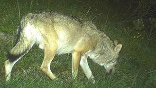 Wolf reisst im Weisstannental sechs Schafe