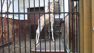 Basler Zolli schickt Giraffe auf die Waage