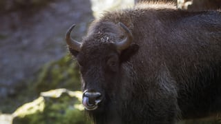Auswilderung der Ur-Rinder hat Verspätung