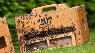 Bienenvölker sind nach dem strengen Winter besonders begehrt