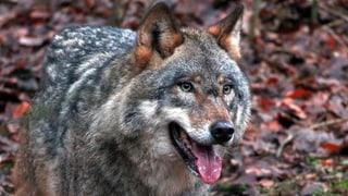 Wolfsabschuss kann kontraproduktiv sein