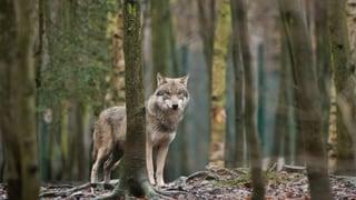 Immer mehr Wölfe in Europa