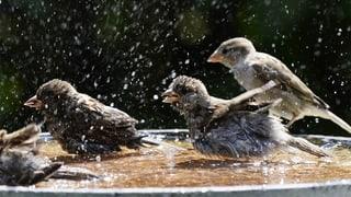 Die Tauben vermehren sich explosionartig, den Spatzen gehen die Insekten aus: In Zürich gibt ein Wildhüter Gegensteuer.