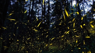 Das spektakuläre Liebesspiel der Glühwürmchen