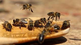 Europa gehen die Bienen aus