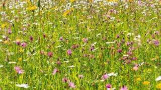 Der Weg zur biodiversen Wildblumenwiese