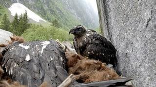 Gebärfreudige Bartgeier in Graubünden