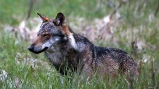 Der illegale Wolfsabschuss am Rhone-Ufer hat Konsequenzen. Die Walliser Staatsanwaltschaft hat Anklage erhoben.