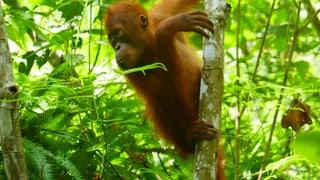 Von der Zierpflanze zur Umweltkatastrophe: Palmöl steckt in fast jedem Alltagsprodukt. Die ungebremste Nachfrage lässt den Orang-Utan in Indonesien aussterben.