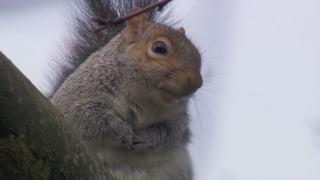 Video «Serie «Tierische Einwanderer»: das Grauhörnchen» abspielen