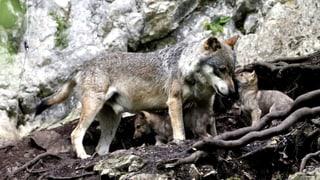 Bauern und Jäger wollen dem Wolf an die Gurgel