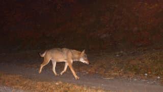 Video «Auf der Spur der Wolf-Familie am Calanda » abspielen