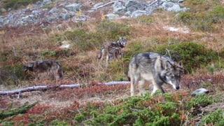 Wolfsrudel im Oberwallis erstmals auf Fotos festgehalten