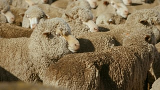 Video «Mautgebühr für Traktor. Quälerei für Merino-Wolle. Handyabo-Test» abspielen