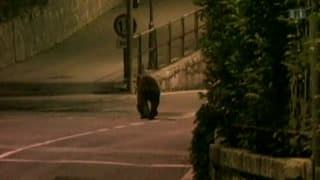 Der schlafende Bär M13 entzweit das Puschlav