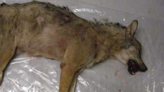 Der Schlieremer Wolf war ein Bündner