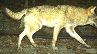 Kanton Uri löst erneut Wolfsalarm aus
