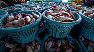 Jede vierte Hai- und Rochenart ist vom Aussterben bedroht. Das stellt der WWF in einem Bericht zum Zustand der Ozeane fest.