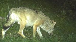 Schneller schiessen: Bündner Regierung gegen Wolfskonzept