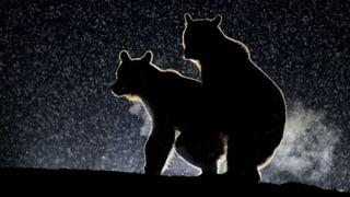 Bumsende Bären: Der beste Foto-Award der Welt!