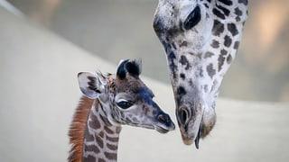 Tierschützer warnen: Giraffen sind vom Aussterben bedroht