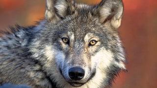 Wolf riss vier Schafe nahe St.Gallen