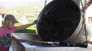 Suzukii-Fliege macht den Weinbauern viel Arbeit