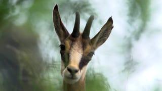 Video «Folge 3: «Jagdbar: Die Gämse»» abspielen