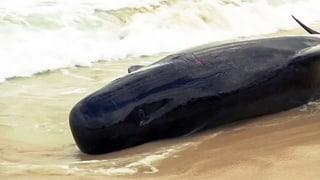 Fast 150 Wale verenden an australischem Strand