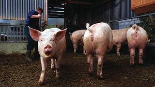 Schweinezuchtbetrieb im Kanton Luzern wegen Virus geschlossen