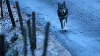 Wölfe: Oberster Wildhüter kritisiert Ausrottungspolitik