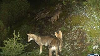 Calanda-Wölfe greifen erstmals Grossvieh an