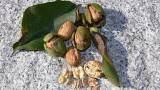 Bündner Nüsse für die Bündner Nusstorte