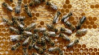 Insektengifte schwächen vor allem Wildbienen