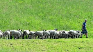 Kanton Luzern bietet einen Wolf-Alarm für Schafhalter an
