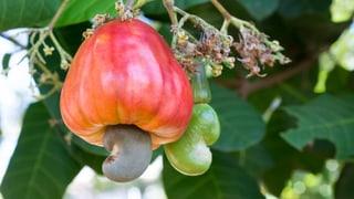 Nüsse knacken in Mosambik