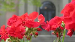 Stadt Bern feiert ihre liebste Blume