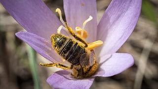 Bienensterben bei Zäziwil: Aufwändige Spurensuche löst das Rätsel
