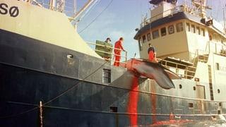 Walfang weltweit – wo wie viel getötet wird