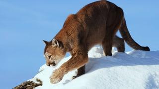 Video «Intimes vom Puma» abspielen