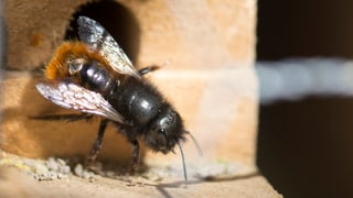 Weniger Bienen in der Ostschweiz