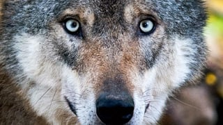 Nationalrat will Wolf und Biber zum Abschuss freigeben