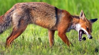 Fuchsbandwurm – Mehr Fälle, aber wenig Grund zur Sorge