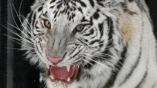Warum sind manche Tiger weiss?