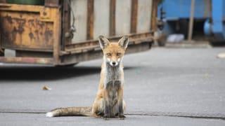 Füchse, Igel, Eidechsen – wo Tiere die Stadt erobern