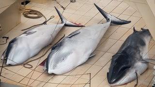 Japan macht erneut Jagd auf Wale