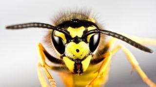 Sommerzeit – Wespenzeit